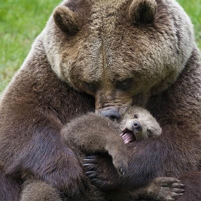 mama bear holding cub