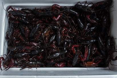 Ice chest full of live crawfish, how to boil crawfish, live crawfish, crawfish boil